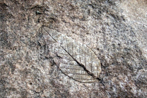 Отпечаток листа, которому 65 млн лет