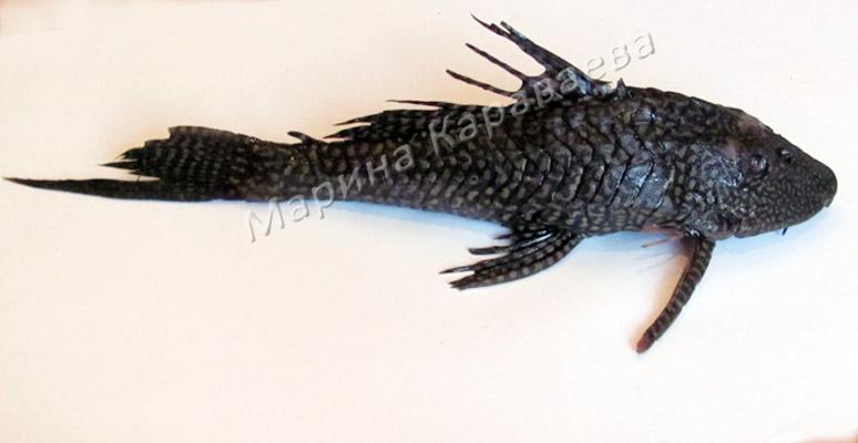 Рыба из Волги?