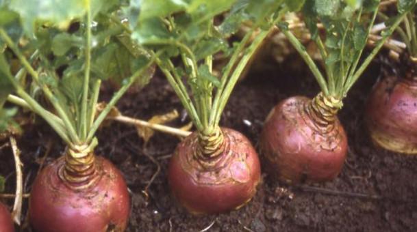 Как правильно высаживать, выращивать и хранить брюкву